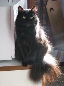 Порода кошки Йоркская шоколадная
