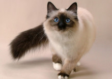 Бирманская кошка, уход и содержание