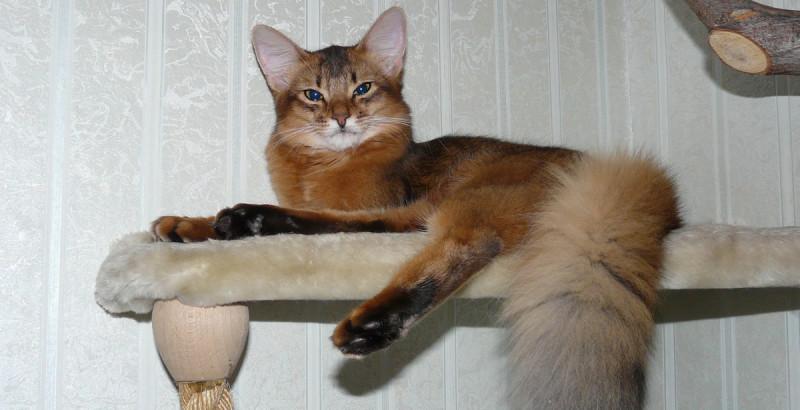 Сомалийская кошка, фото