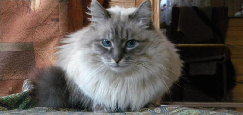 Невская маскарадная кошка и уход