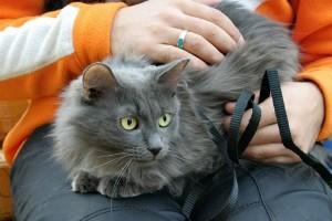 Фото породы кошек Нибелунг