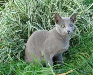 Интеллект русских голубых кошек