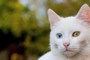 Ангорская кошка и гинетика