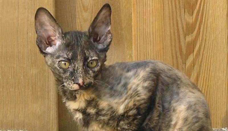 Орегон-рекс, английская порода кошек