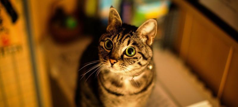 Содержание и уход - Американская короткошерстная кошка