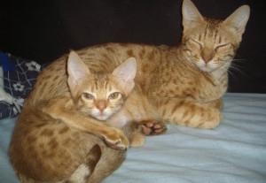 Кошка и котенок породы оцикет