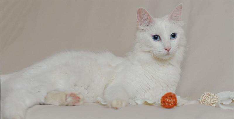 Ангорская кошка и питание