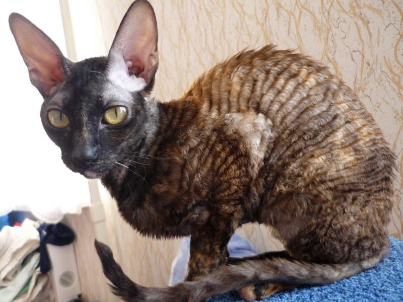 Корниш-рекс, английская порода кошек