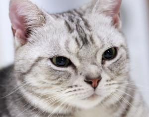 Американская короткошерстная кошка и ее здоровье