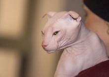 Фото лысых пород кошек