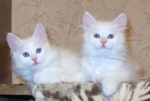 Котенок, ангорская кошка