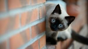 Воспитание тайской кошки