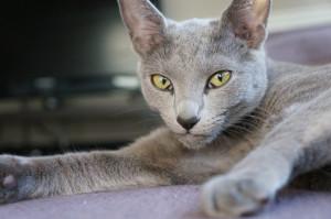 Уход и содержание русской голубой кошки