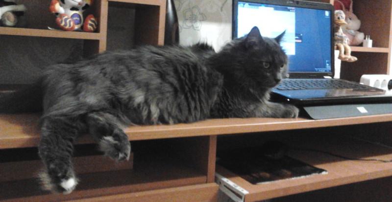 Кошка породы Нибелунг, уход и содержание
