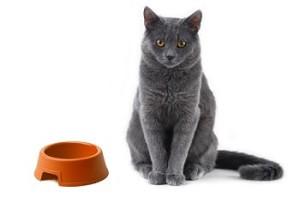 Кормление русской голубой кошки