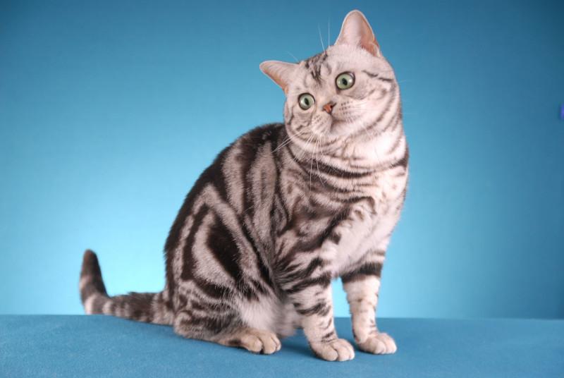 Отличительные черты породы Американская короткошерстная кошка