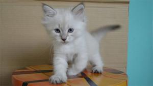 Питомник котят невской маскарадной кошки