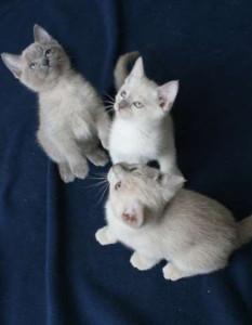 Котята тонкинской породы