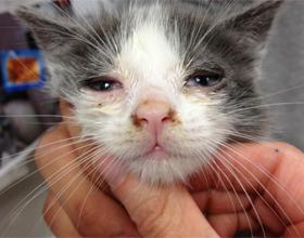 Формы чумки у кошек