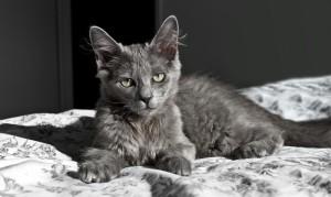 Котенок породы Нибелунг