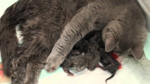 Кошка рожает