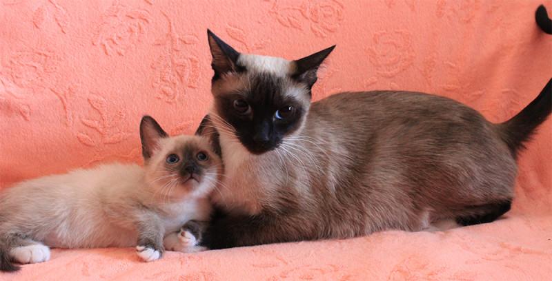 Кошка с коненком Сноу-шу