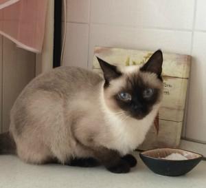 Питание для тайской кошки