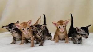 Котята ориентальной породы кошек