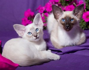 Котенок породы балинезийская кошка