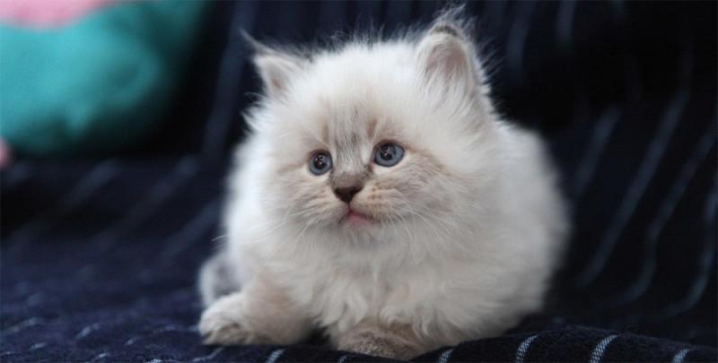 Котенок невской маскарадной кошки