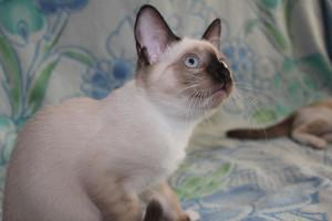 Кошка Сноу-шу и отзывы владельцев