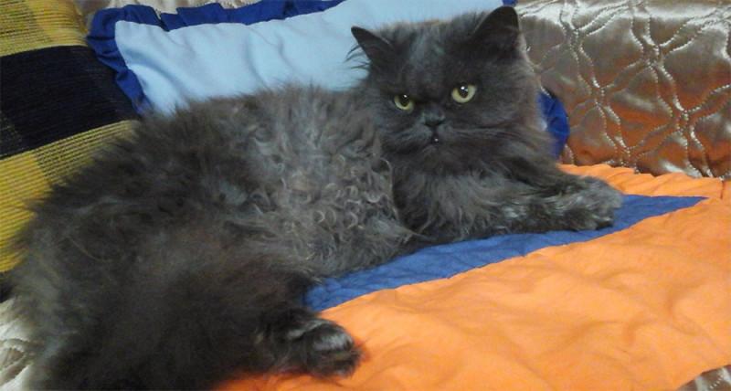 Персидская кошка серого цвета