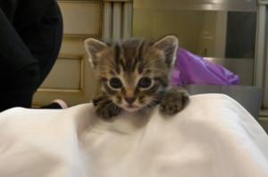 Котенок породы Калифорнийская сияющая кошка