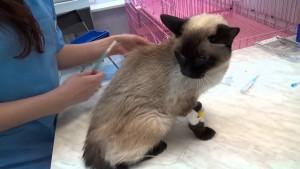Болезни тайской кошки