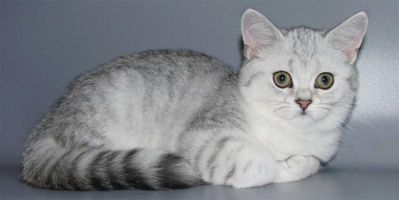 Скоттиш-страйт, английская порода кошек