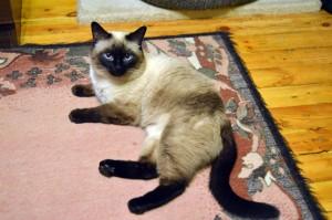 Уход за тайской кошкой