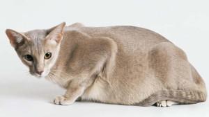 Кошка беременная