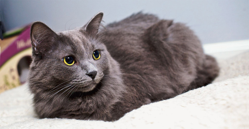 Порода кошек Нибелунги