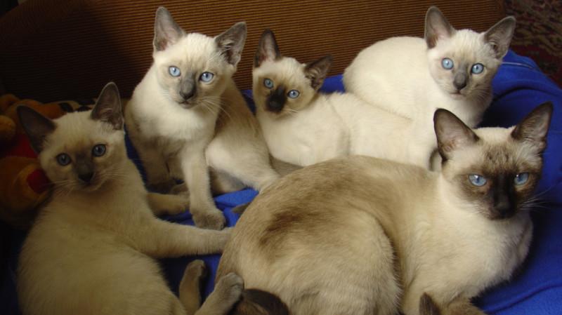 Котята тайской кошки