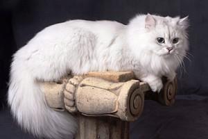 Кошка австралийская тиффани