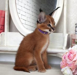 Котенок каракл