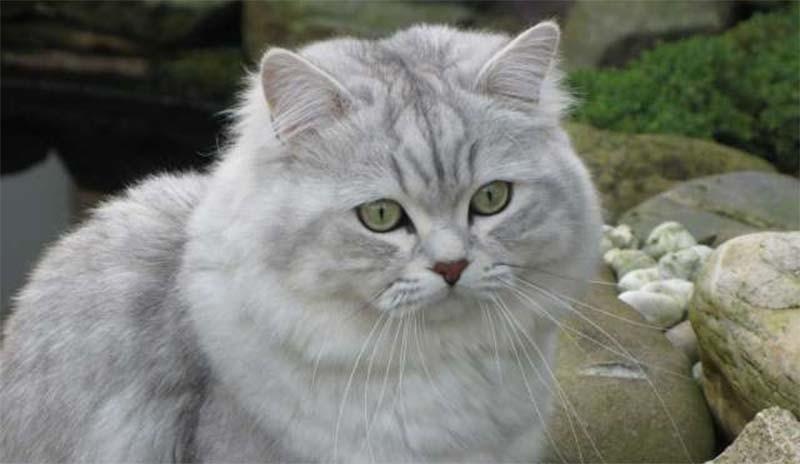 Кошка породы австралийская тиффани