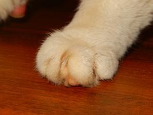 Хромота кошки после инъекции