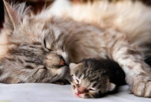 Помощь кошки при родах