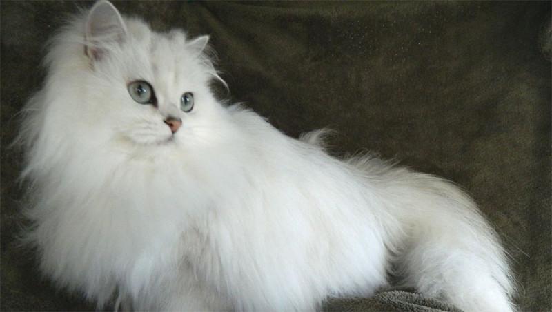 Английская порода кошек бурмилла длинношерстная