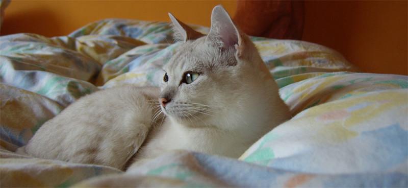 Бурмилла короткошерстная, английская порода кошек