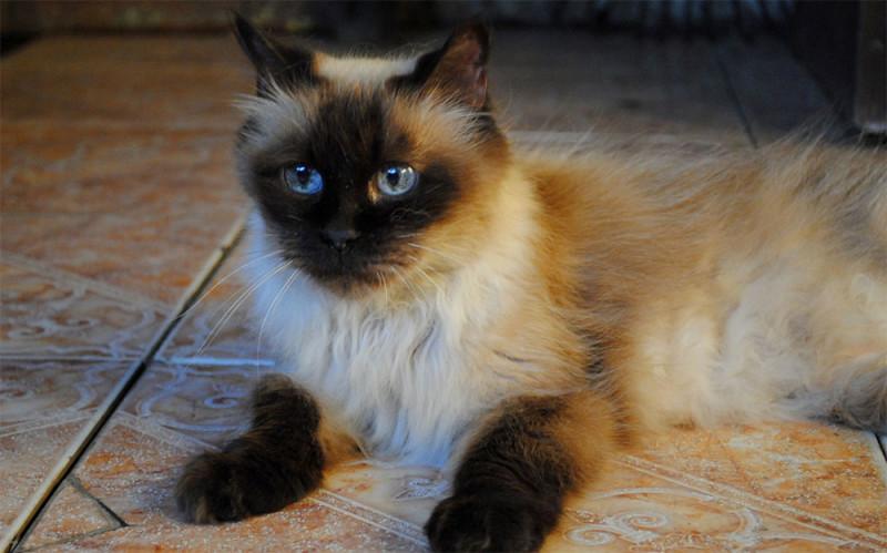 Гималайская кошка, английская кошка