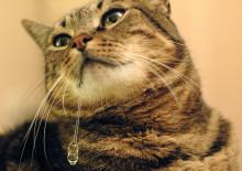 У кошки текут слюни