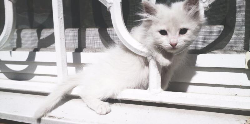 Котёнок ангорской кошки