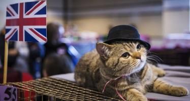 Английские породы кошек